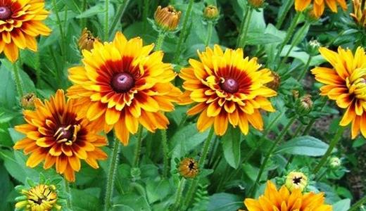 Выращивание РУДБЕКИИ из семян в домашних условиях. Когда сажать и как ухаживать?