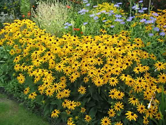 Красивый выращенный куст рудбекии на вашем огороде