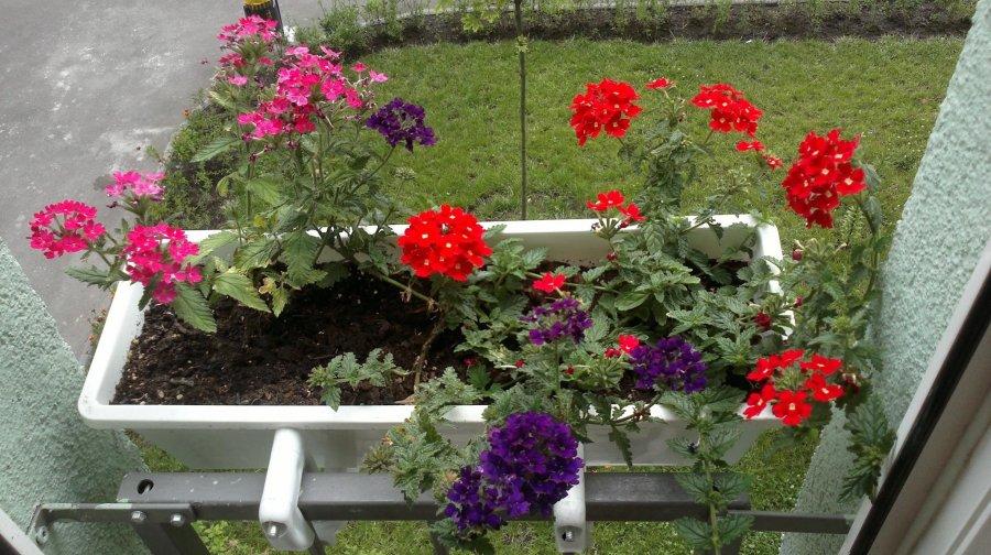 Вербена на балконе или на лоджии
