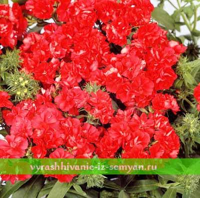 Как выращивать флокс друммонда из семян