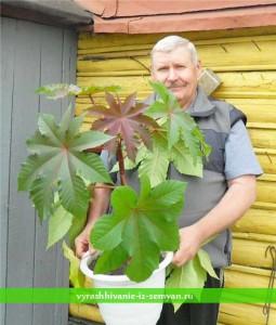 Клещевина выращивание из семян когда сажать
