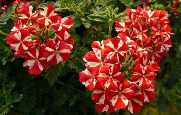 Красивые цветы вербены