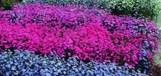 выращивание вискарии из семян