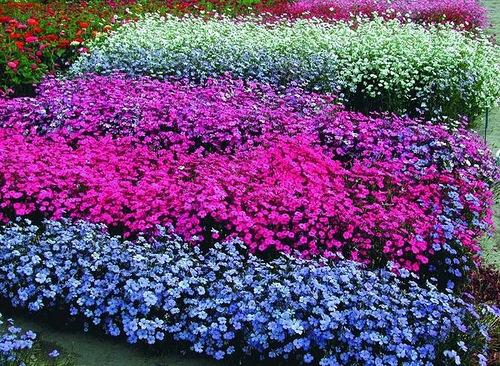 Смолевка выращивание из семян когда сажать 49