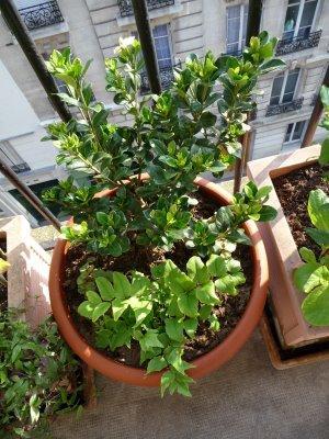 Еригерон как домашнее растение