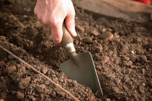 Высаживаем кобею в открытый грунт